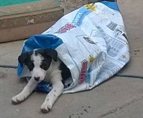 Pup in dog food bag